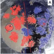 כאשר הכניסו המדענים משטח מגנטי לתמיסה של מולקולות כיראליות ימניות ושמאליות (באדום ובכחול), נוצרו גבישים של המולקולות בקטבים מגנטיים מנוגדים. מעבדתו של פרופ' רון נעמן, מכון ויצמן