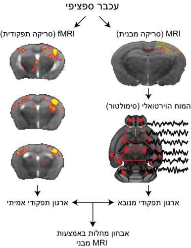 """שימוש ב""""מוח הווירטואלי"""" לסימולציה של ארגון תפקודי על בסיס קישוריות מבנית והשוואתה לארגון תפקודי כפי שנמדד ב-fMRI. פיתוח זה יאפשר להתבסס באבחון מחלות על סימולציה המבוססת על סריקות MRI שגרתיות. מעבדתו של פרופ' איתמר קאהן, הטכניון"""