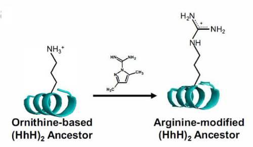 באמצעות תגובה כימית פשוטה, אפשר להמיר את האורניתין שברצף החלבון הקדום בארגינין