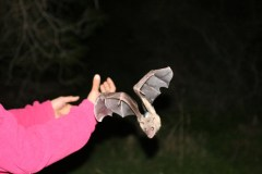 מחקר תנועת עטלפי פירות בעמק החולה. צילום: פרופ' רן נתן, האוניברסיטה העברית