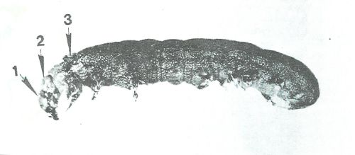 Figure 1. A prodigal larva that grows due to a complete deficiency of ascorbic acid. 1- The old head box 2- The new head box. 3 The larval skin of the larva that remains close to the body. (Last larval stage). Photo: Amos Navon