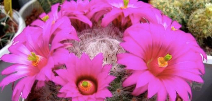 Kaktüs Nasıl Çiçek Açtırılır?