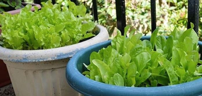 Yeşil Salata Yetiştirmek İçin Bahçeye İhtiyacınız Yok
