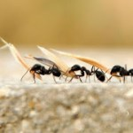 Mutfaktaki karıncalardan öldürmeden nasıl kurtulursunuz