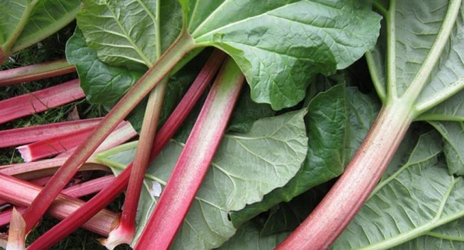 How To Grow Remarkable Rhubarb Hayes Garden World