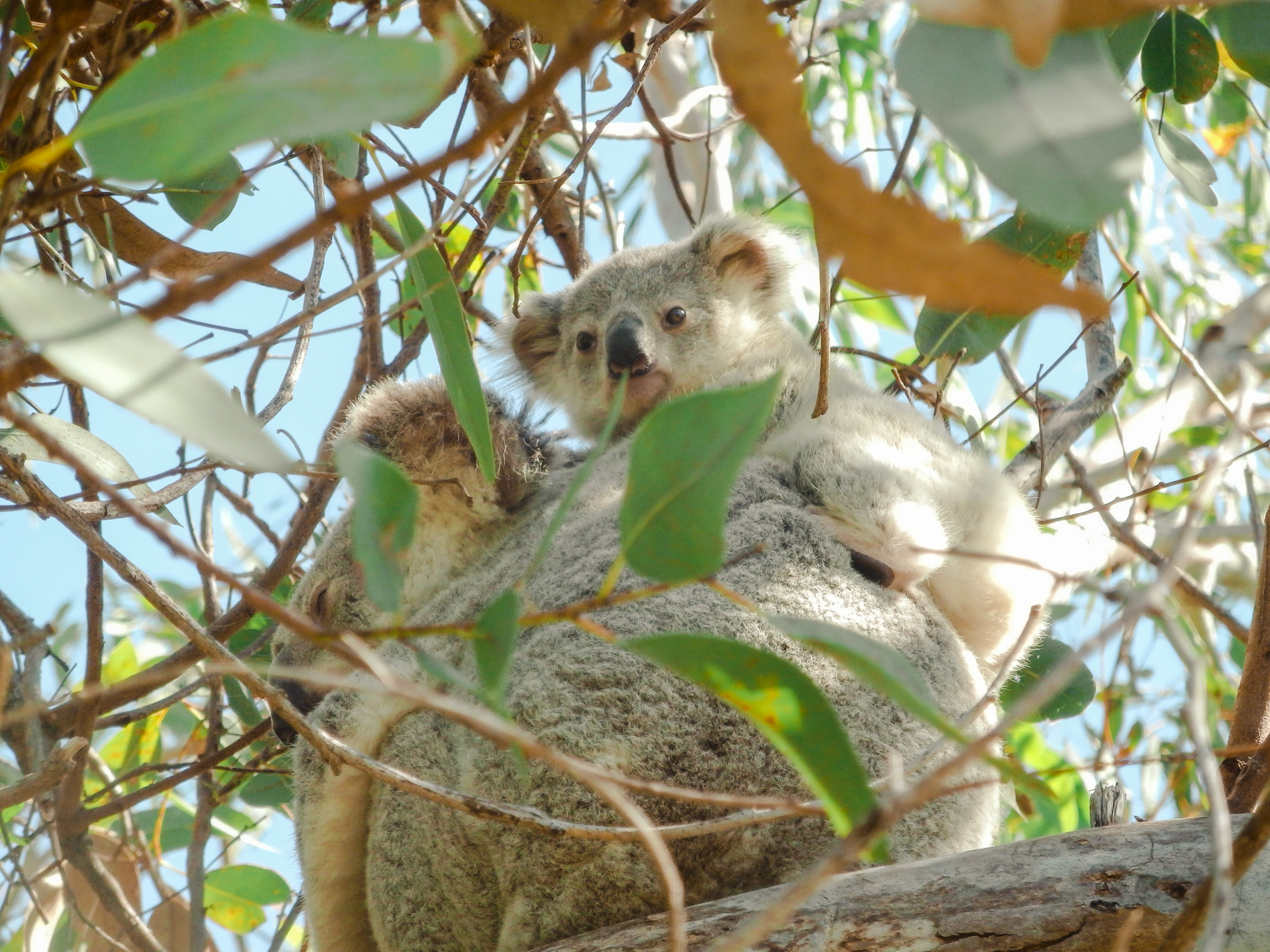Koalas on Magnetic Island