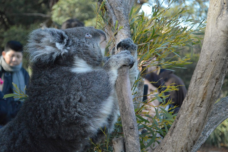 Things to do in Hobart Tasmania: visit Bonorong Wildlife Sanctuary