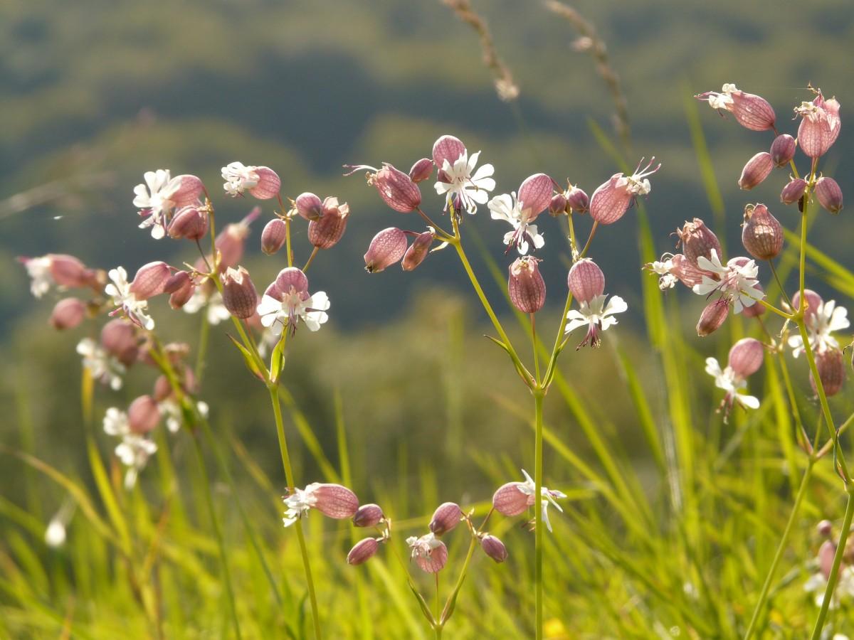 sclopit - fiore