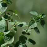 Fűszernövények a háztartásban