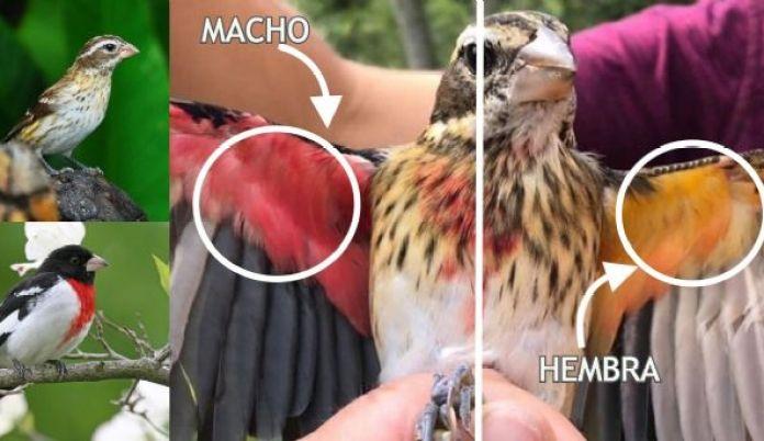 Descubren un pájaro que es mitad hembra y mitad macho | HCH.TV