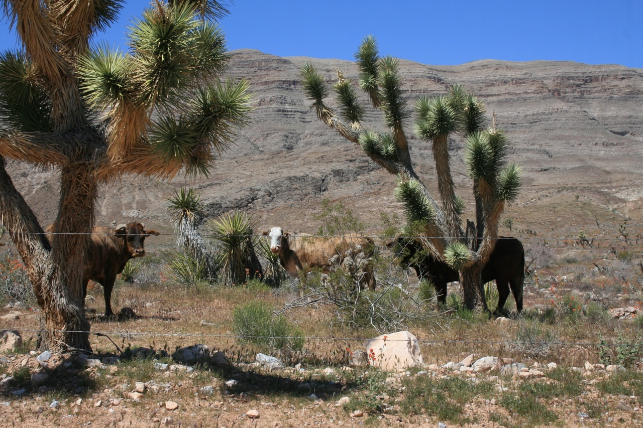 Bundy Ranch, New BLM Whistleblower, Senator Harry Reid, Bureau of Land Management BLM, Cattle, Conflict Showdown & Revolution https://i0.wp.com/www.hcn.org/blogs/goat/images-2/CattlenearHorseSpringApril2010.jpg
