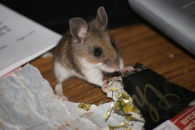 When deer mice attack — High Country News – Know the West