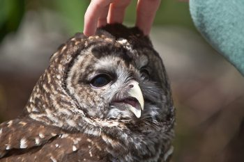 During Grandfather Mountain's annual Naturalist Weekend, returning May 13-15, participants will have the opportunity to meet some of the mountain's resident owls, including Shakespeare, a barred owl. Photo by Monty Combs | Grandfather Mountain Stewardship Foundation