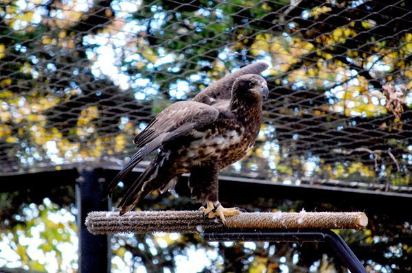 Ajax, a juvenile bald eagle, arrived at Grandfather Mountain in late August. Bald eagles develop their iconic white plumage after five years, meaning 2-year-old Ajax is still sporting rich, brown-colored feathers. Photo by Frank Ruggiero   Grandfather Mountain Stewardship Foundation