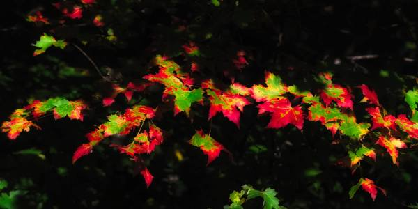 Maple leaves catch up with their color-changing cohorts at Grandfather Mountain's MacRae Meadows. As peak color begins to arrive at higher elevations, and with several fall festivals taking place this weekend, those visiting Grandfather Mountain can expect heavy traffic throughout the High Country. To beat the lines and avoid the wait at Grandfather Mountain, guests are encouraged to purchase their tickets online at https://goo.gl/H4iLBm. Online tickets grant visitors access to a priority lane, which allows them to enter the park through a side entrance. Photo by Skip Sickler | Grandfather Mountain Stewardship Foundation