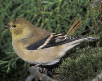 BIRD COUNT: American Goldfinch. Gerard Bailey/VIREO, Audubon.org.