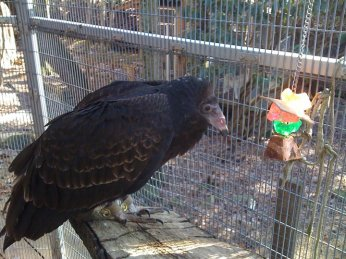 "Another old ""resident"" of Genesis. This is Carrie the Turkey Vulture."