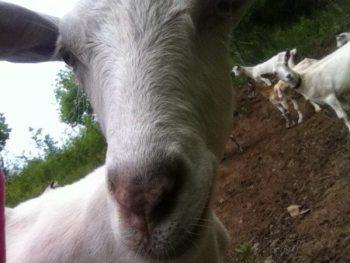 Third_GoatSelfiePhotoBomb_MaddieWillard_NelsonFamilyFarm