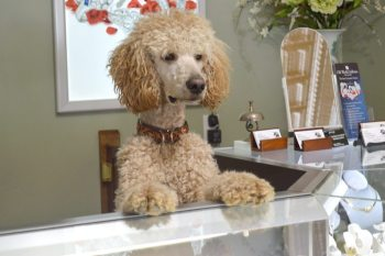 Boone, the Travis family's 1-year-old Standard Poodle, stands at attention, ready to meet the next customer who walks through the door at Old World Galleries. Photo by Jessica Isaacs.