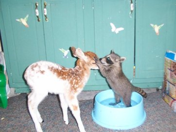 "A raccoon and fawn give each other ""kisses"" at Genesis more than three years ago."