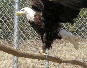 Griffin is the name given to Grandfather Mountain's new male bald eagle.  Griffin came to Grandfather Mountain from a raptor center in Nebraska and is missing his right eye and suffers from neurological damage. Photo by Landis Taylor