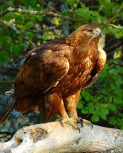Morely the Golden Eagle | Photo submitted