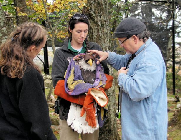 Asheville veterinarian Dr. Lee Bolt (right) conducts a health check on Sitka the bald eagle before it is released into its new home on Grandfather Mountain. Photo by Landis Taylor
