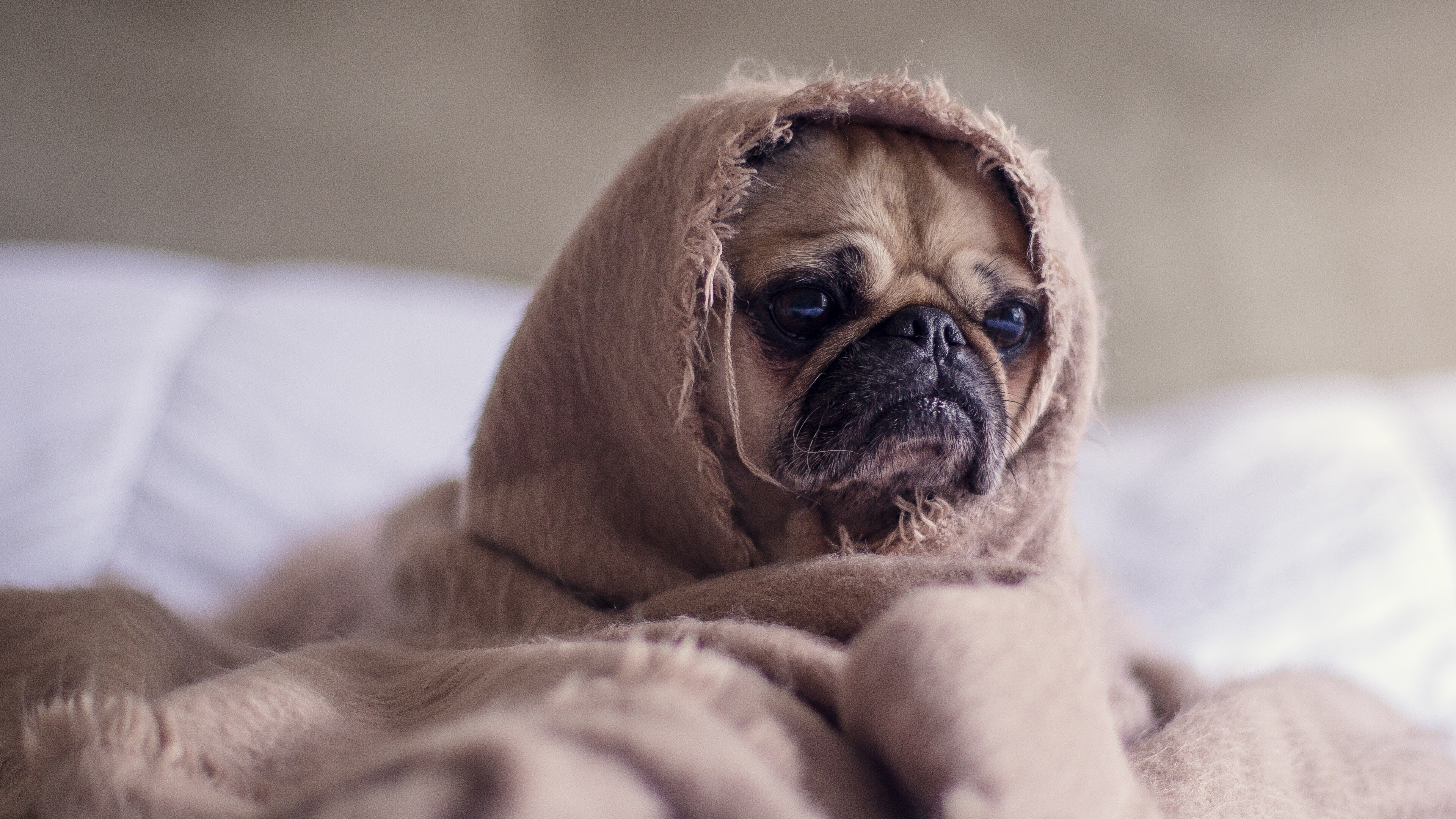 Nice Girls Vector Wallpaper Funny Dog Puppy Wrapped In Blanket 4k Wallpaper Hd