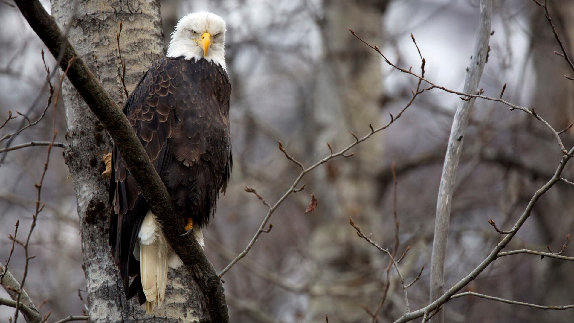 eagle looking smartly and sitting on tree branch wallpaper