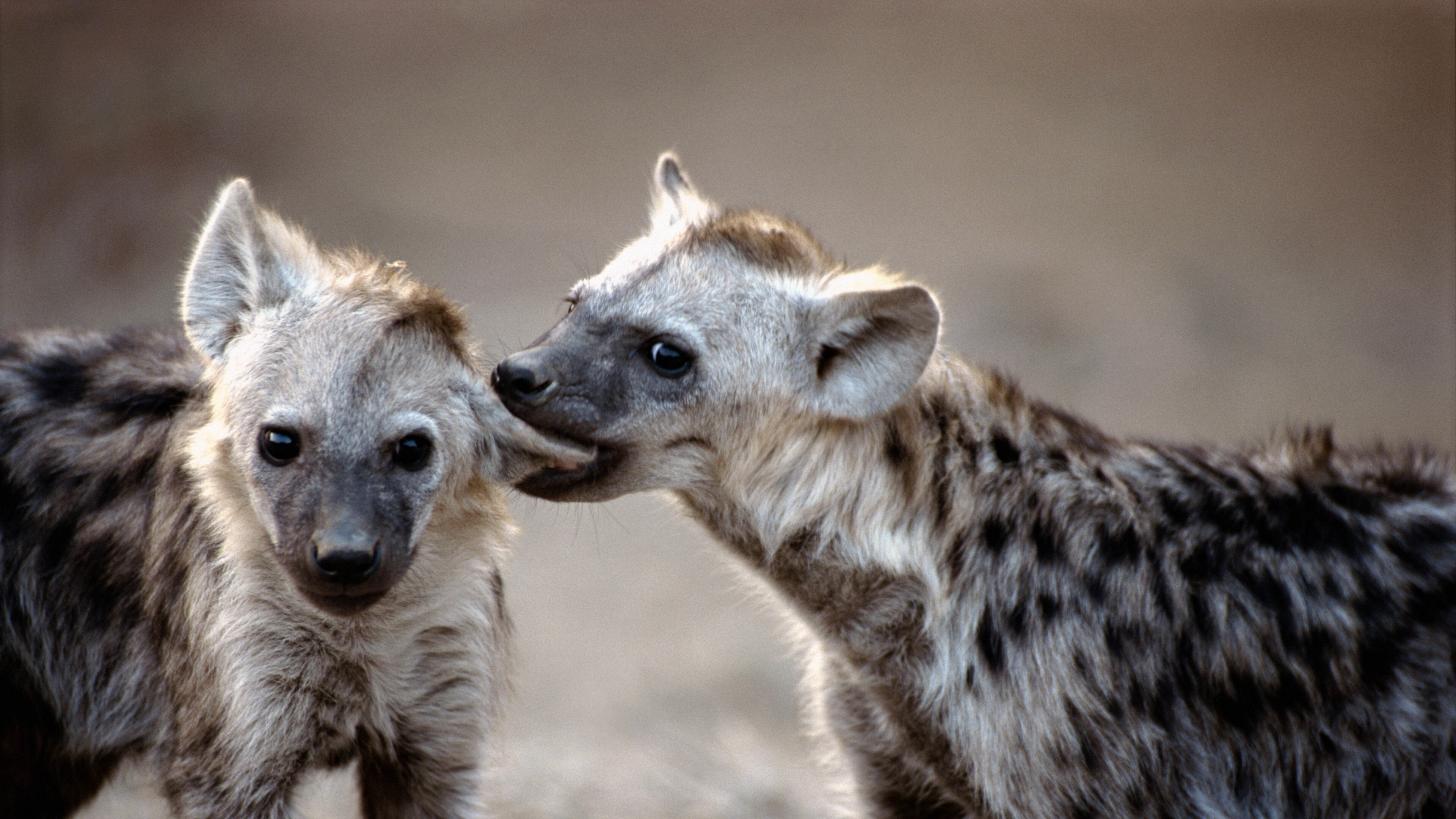 Cute Animal Wallpaper For Laptop Two Wild Animal Hyena Wallpapers Hd Wallpapers