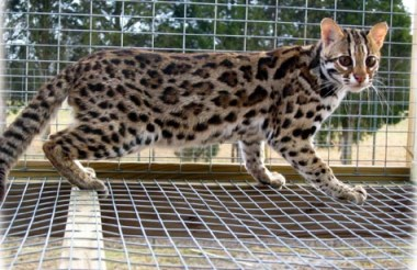 This picture of an Asian Leopard Cat is the epitome of powerful, athletic, muscular small wild cats and is the foundation ancestor cat of the Bengal breed!!