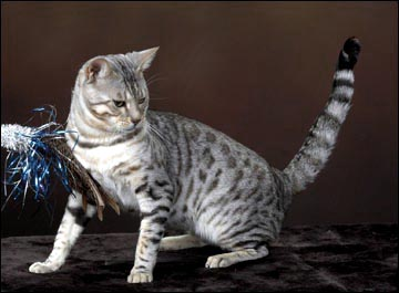 Bengal Cat Profile Spothaven Malamute Of Foothill Felines A Silver Spotted Bengal Male In Our