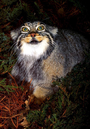 The Pallas Cat Beautiful Big Wild Cat Photograph from