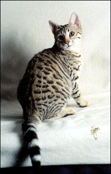 Savannah Cat Profile Foothill Felines Summer Spots Beautiful Brown Spotted Domestic Savannah