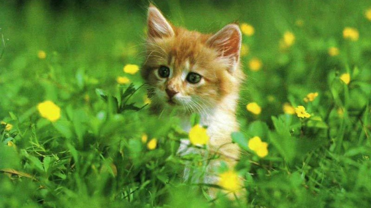 Cute Little Kitten Desktop Wallpapers Free Cat Hd Wallpapers Download Hd Wallpapers Hd