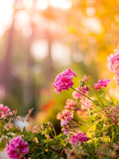 Cute Pink Wallpapers For Android Free Stock Photo Of Flowers Garden Pink Bloom Hd