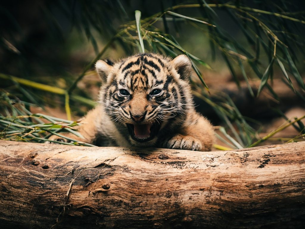 Cute Bengal Wallpapers Hd 1366x768 Baby Animals Cute Tigers 4k Wallpaper Hd Wallpapers Hd