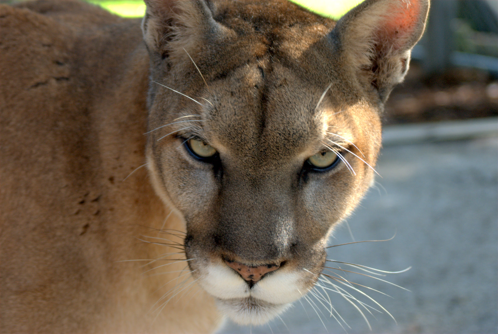 Florida Panthers Iphone Wallpaper Puma Wallpapers Pictures Images