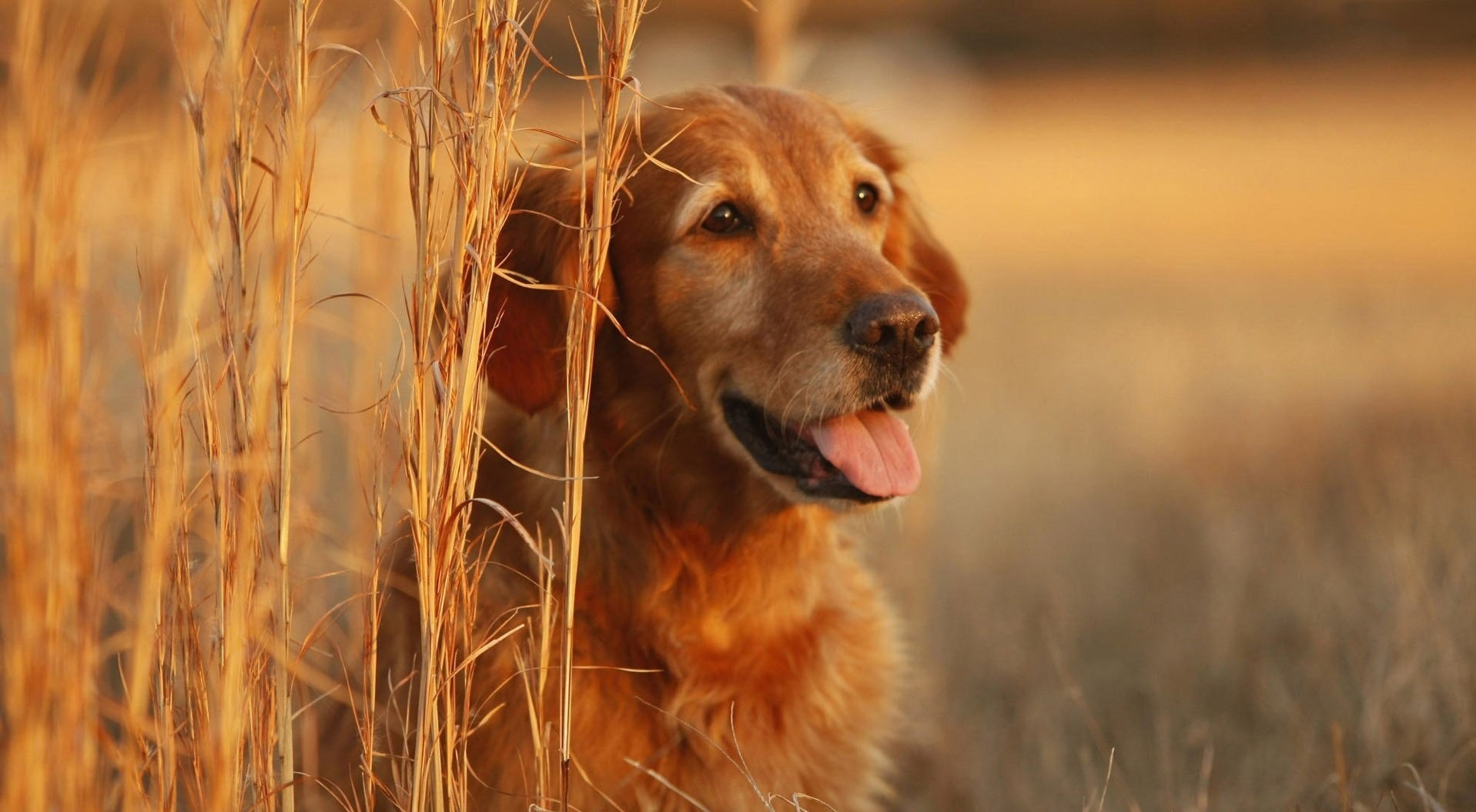 Fall Puppy Wallpaper Golden Retriever Wallpapers Pictures Images