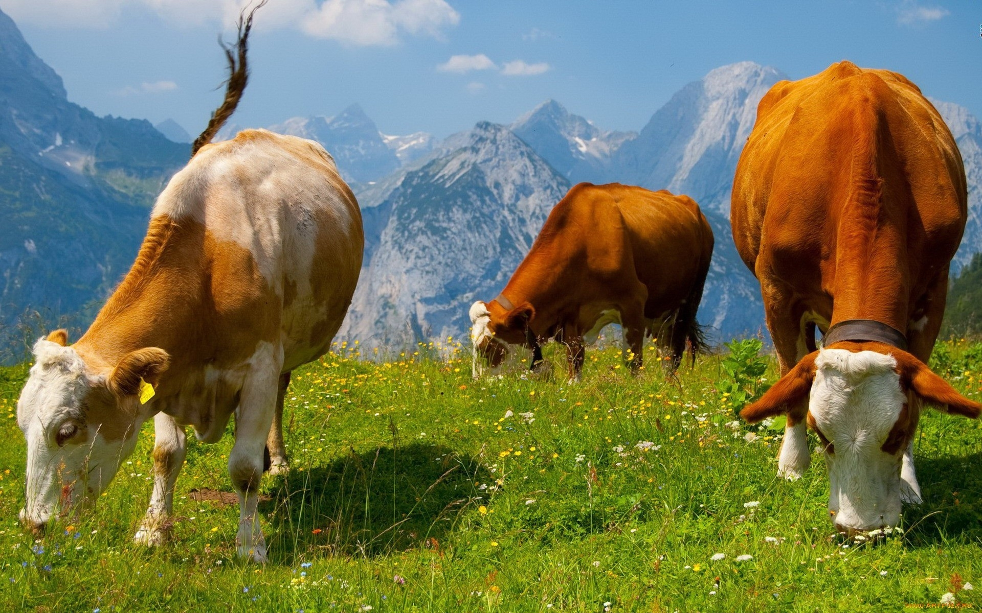 Cute Wallpaper Save The Animals Cows Wallpapers Pictures Images