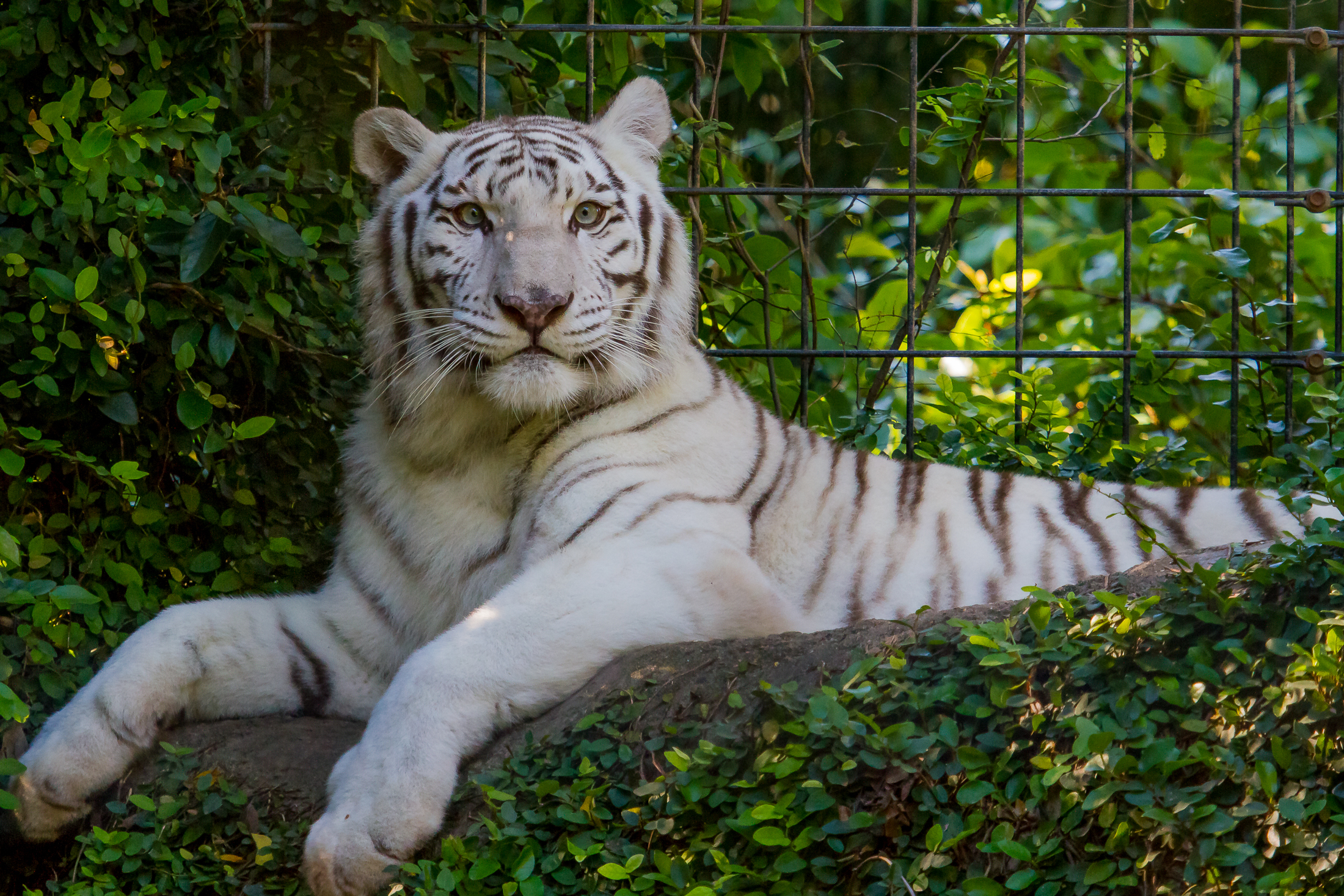 Hd Wallpapers Brands Logos White Tiger Wallpapers Pictures Images