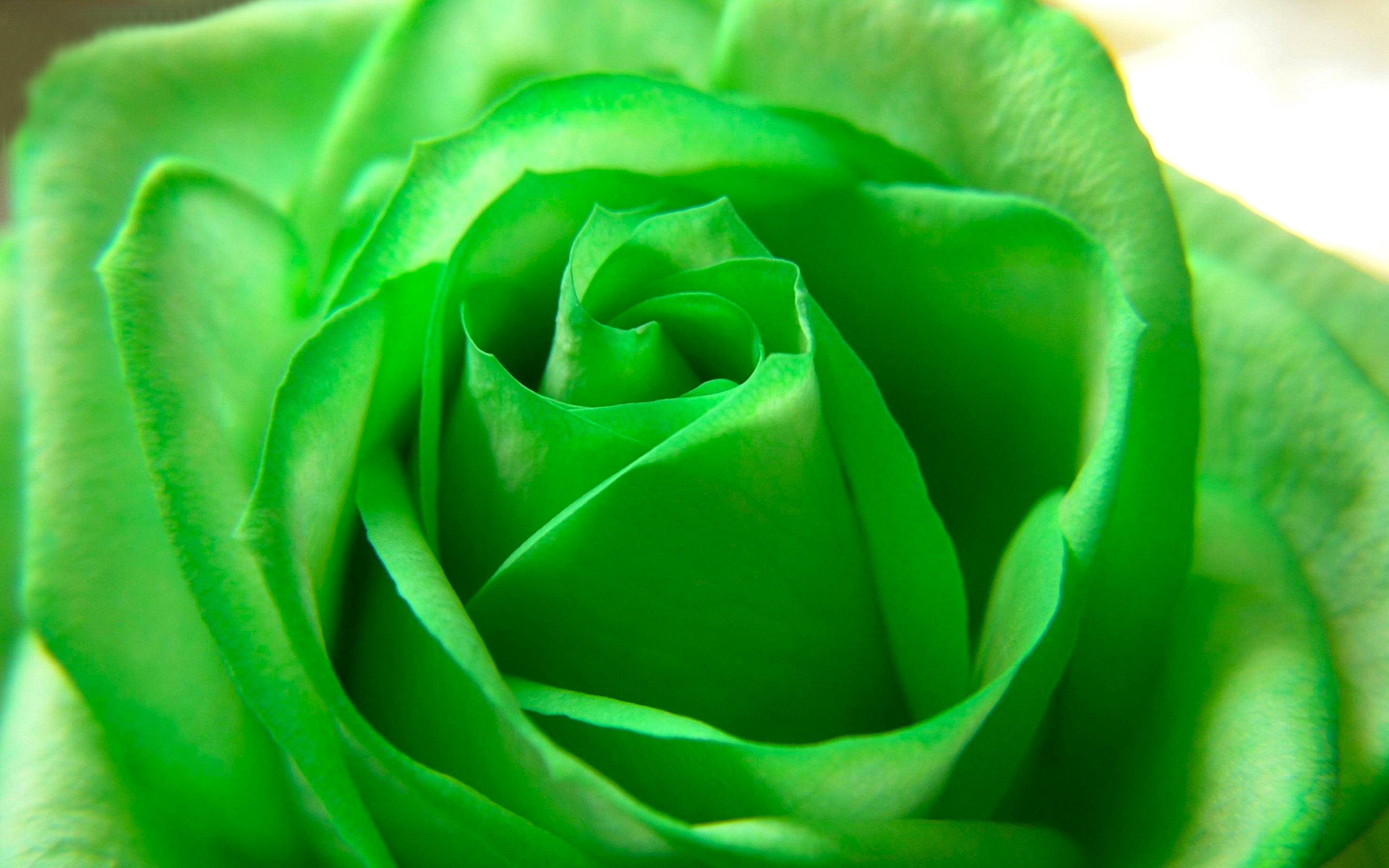 Beautiful Rose Wallpapers With Quotes Green Rose Wallpapers Pictures Images