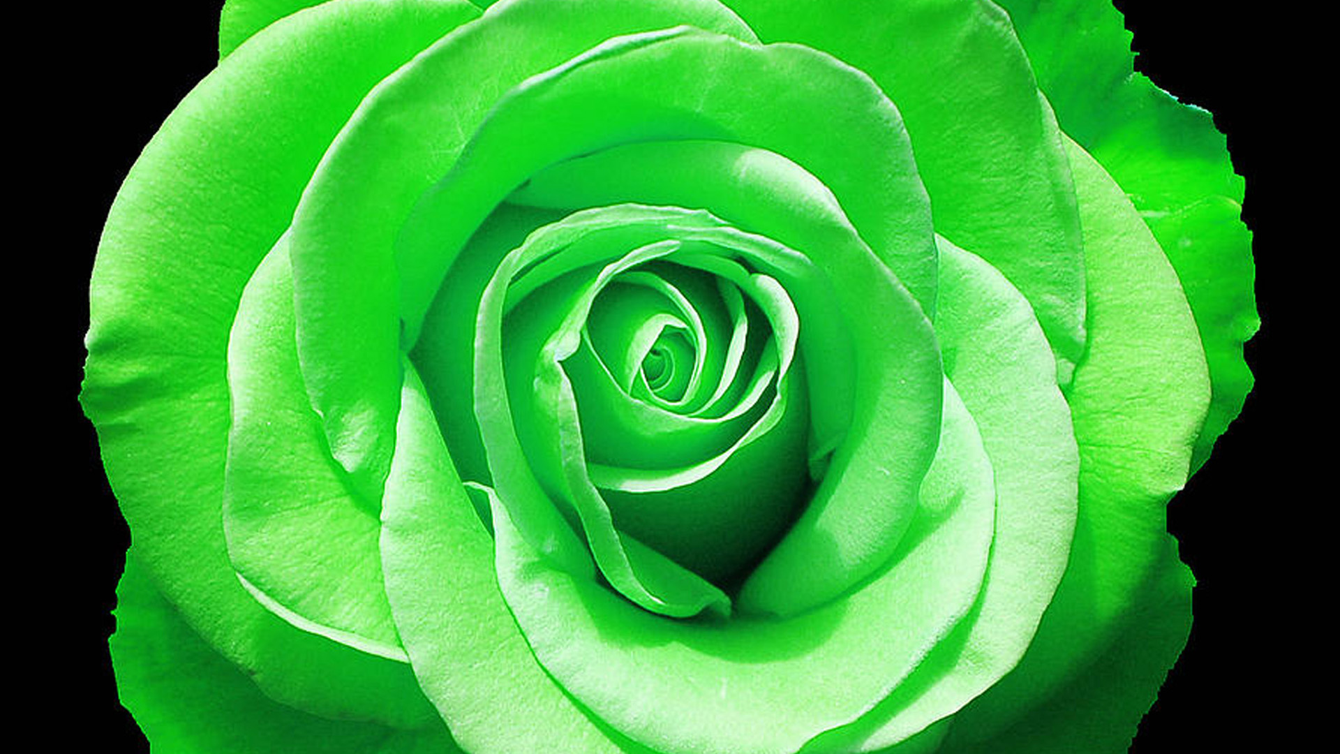 green rose wallpapers pictures