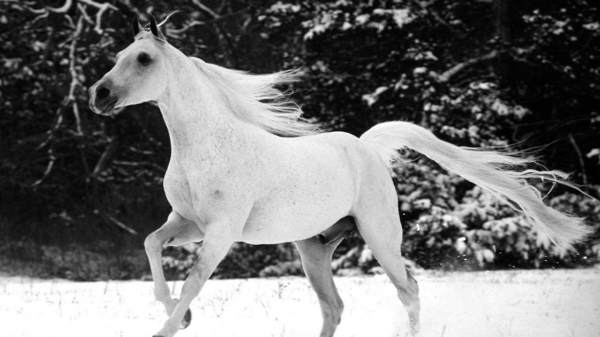 Zendha Black And White Horse Wallpaper