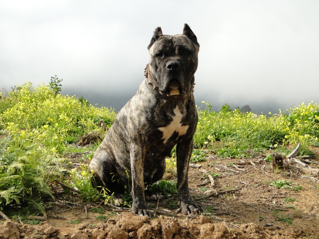 Freddie Mercury Iphone Wallpaper Presa Canario Dog Wallpapers Pictures Images