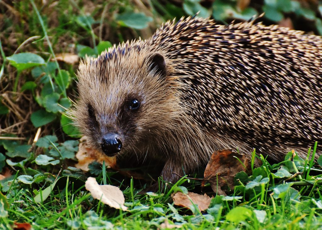 Fall Hedgehog Wallpaper Hedgehog Wallpapers Pictures Images