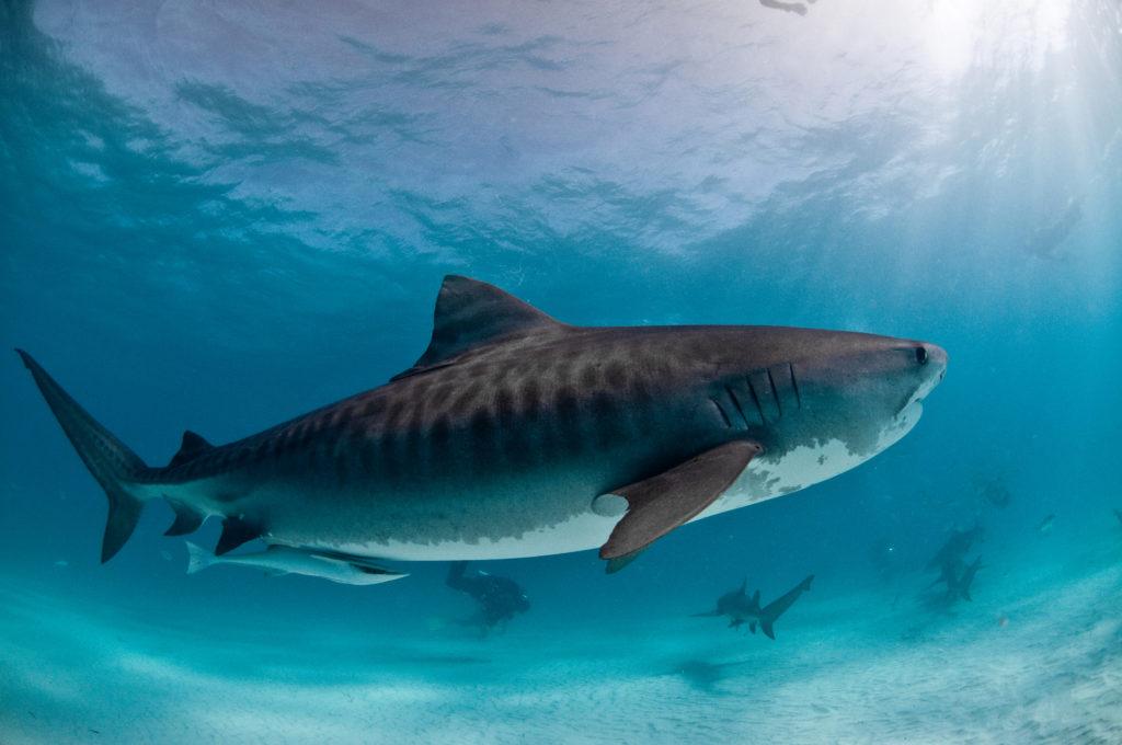 Hawaii Desktop Wallpaper Hd Shark Wallpapers Pictures Images
