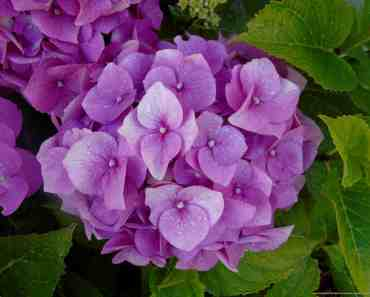 colours of the hydrangea