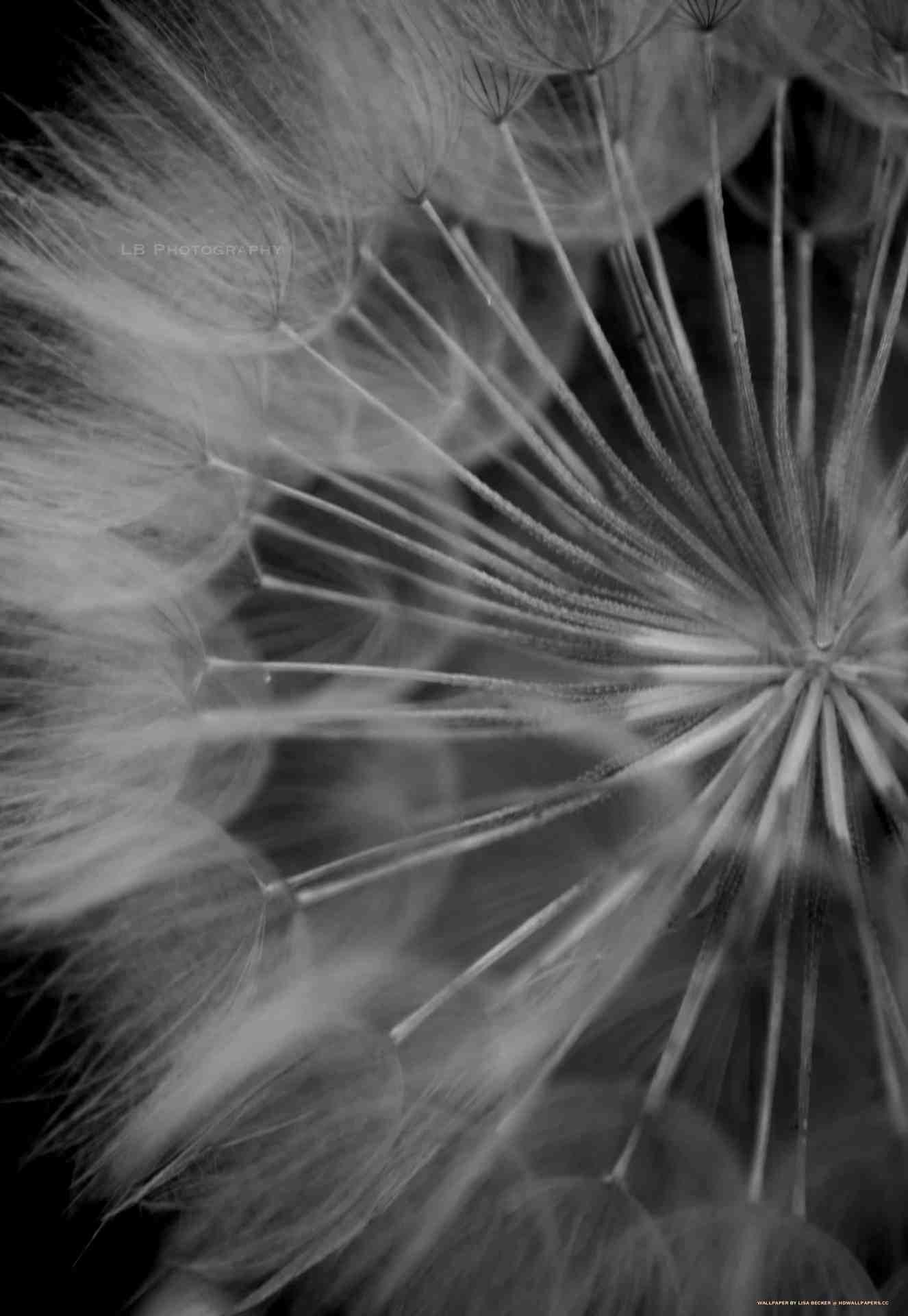 Dandelion Seed Hd Wallpapers
