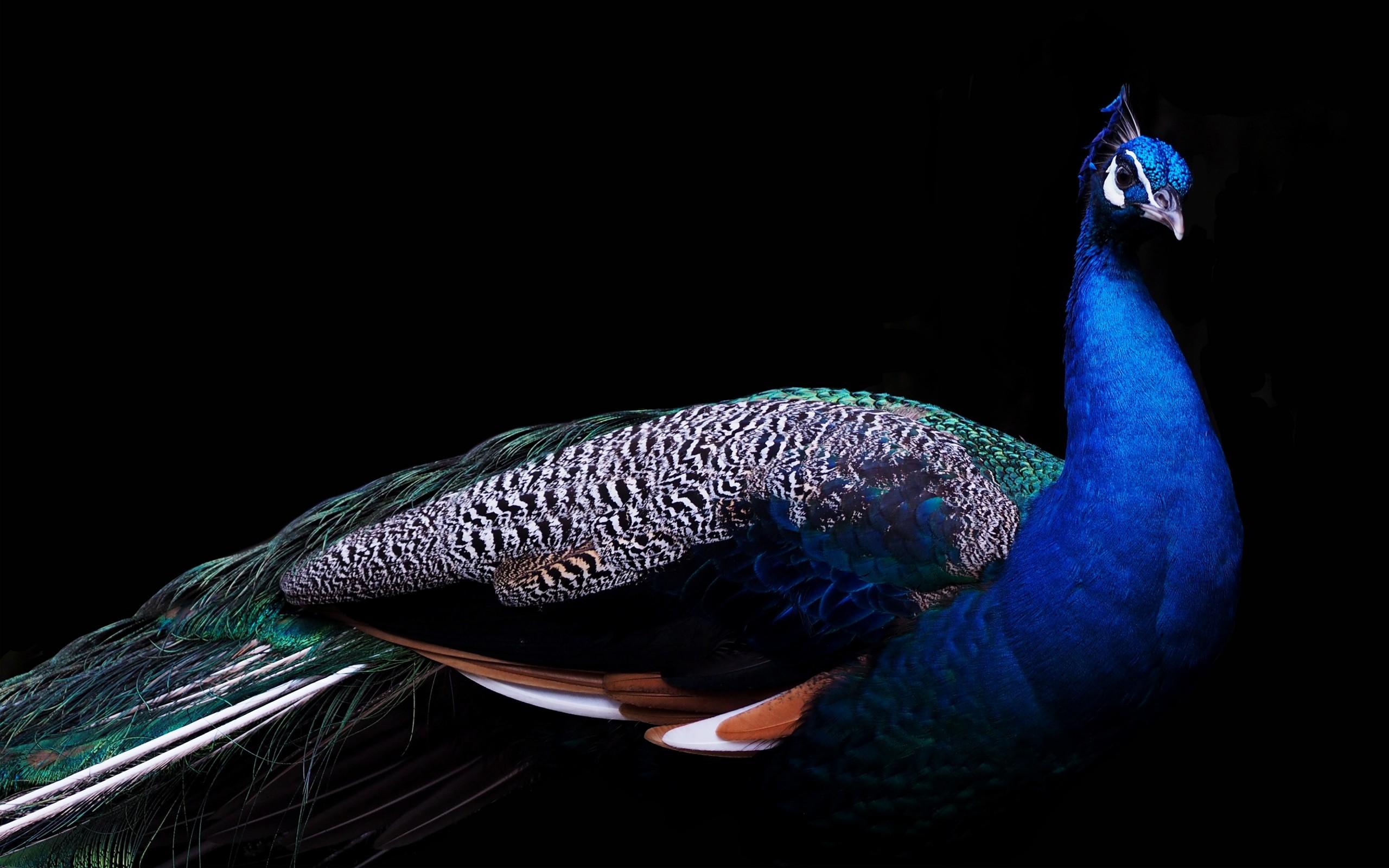 Beautiful Peacock 4K Wallpapers HD Wallpapers ID 21135